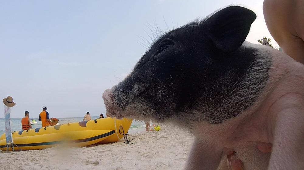 On est devenu pote avec un cochon des plages.