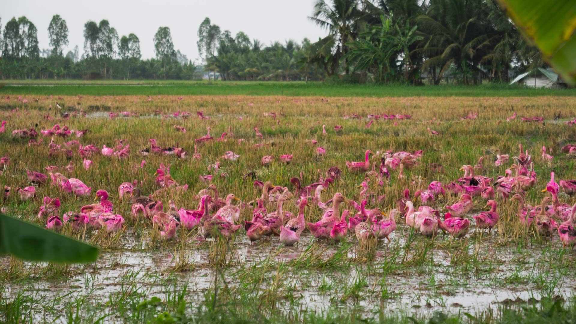 Les canards roses du Vietnam